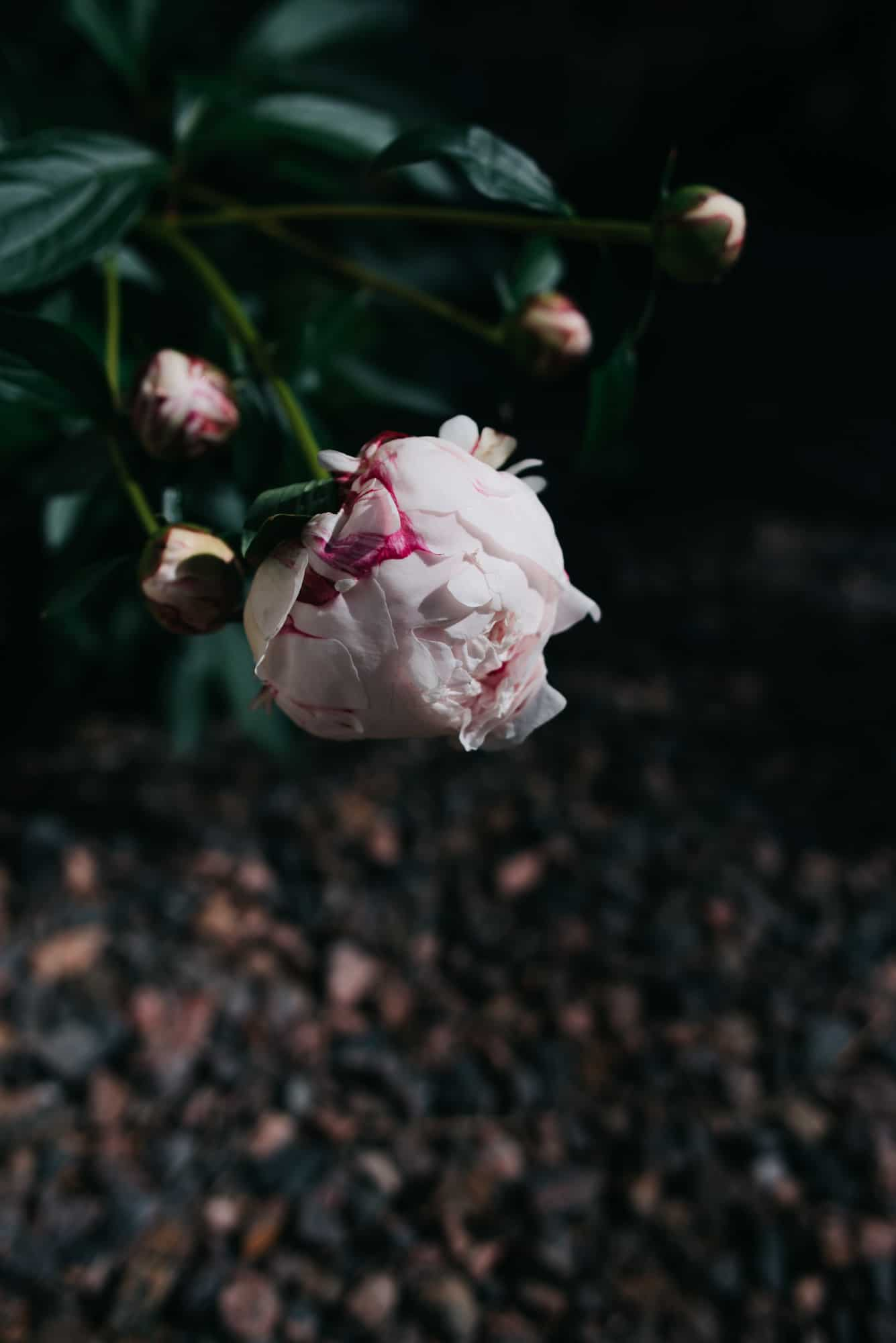 view of a peonies on the vine
